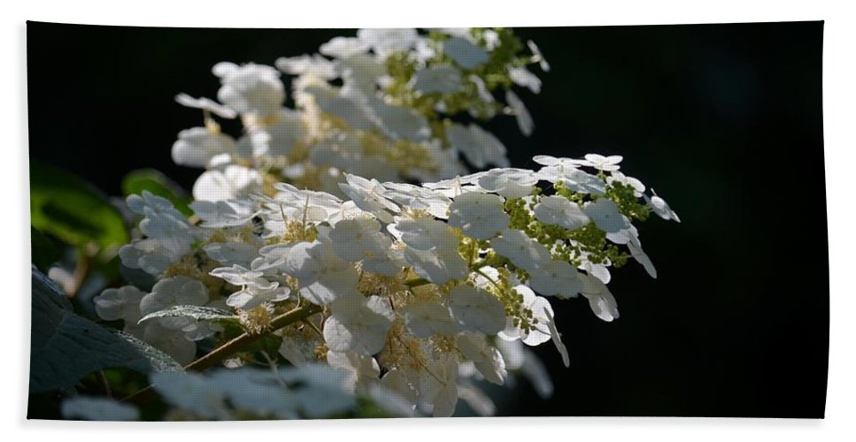 Sunlit Hydrangeas Beach Towel featuring the photograph Sunlit Hydrangeas by Maria Urso