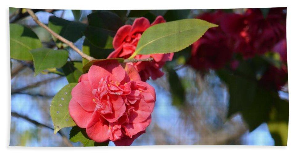 Sunny Red Camelias Beach Towel featuring the photograph Sunny Red Camelias by Maria Urso