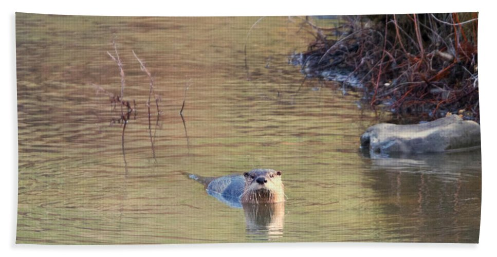 North American River Otter Beach Towel featuring the photograph Sunrise Otter by Mike Dawson