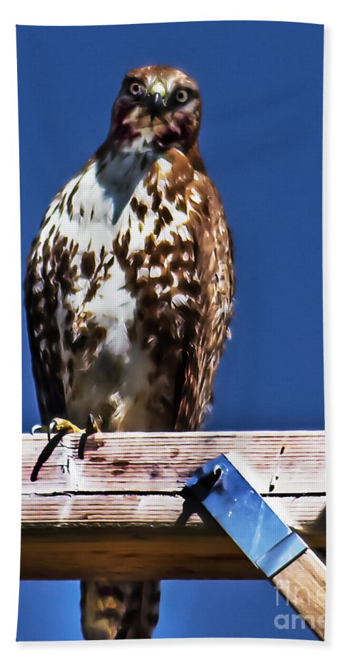 Buteo Swainsoni Beach Towel featuring the photograph Swainson Hawk by Robert Bales