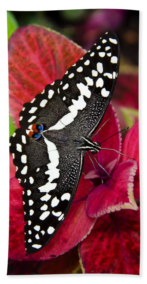 Black And White Butterfly Beach Towel featuring the photograph Swallowtail Butterfly by Saija Lehtonen