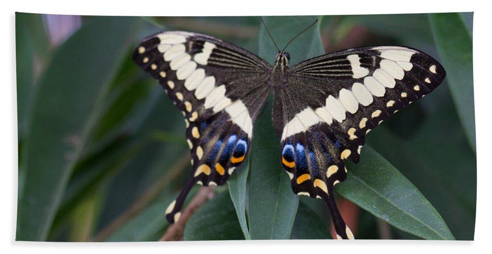 Black Swallowtail Beach Towel featuring the photograph Swallowtail by Leah Palmer