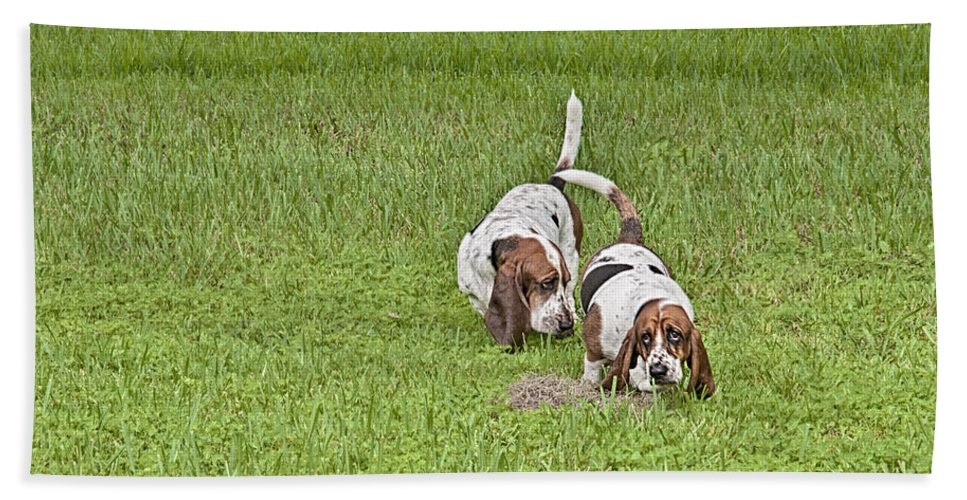 Basset Hounds Beach Towel featuring the photograph The Bassets by Louise Hill