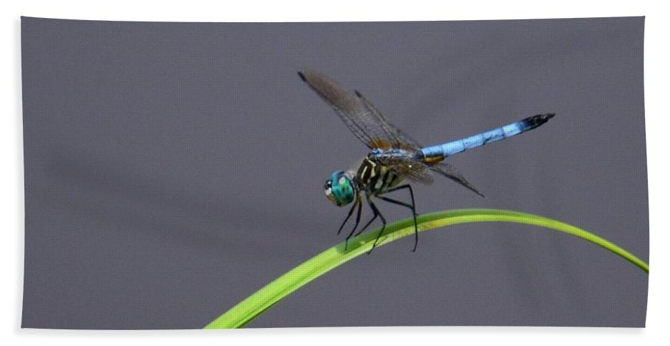 The Blue Dasher Beach Towel featuring the photograph The Blue Dasher by Maria Urso