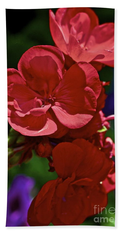Geranium Beach Towel featuring the photograph The Geraniums by Gwyn Newcombe