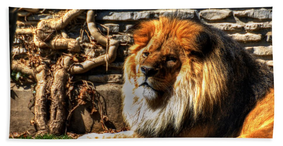 Lion Beach Towel featuring the photograph The King Lazy Boy At The Buffalo Zoo by Michael Frank Jr