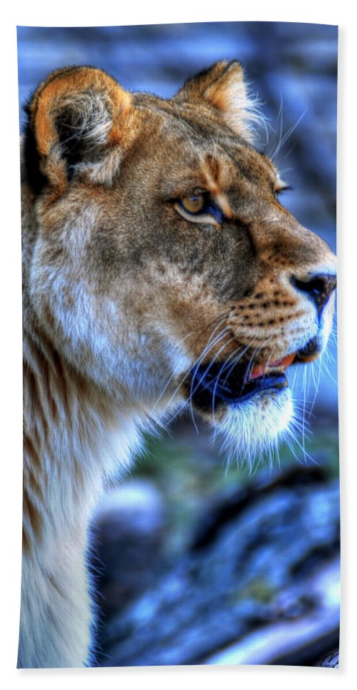 Lion Beach Towel featuring the photograph The Lioness Alert by Michael Frank Jr