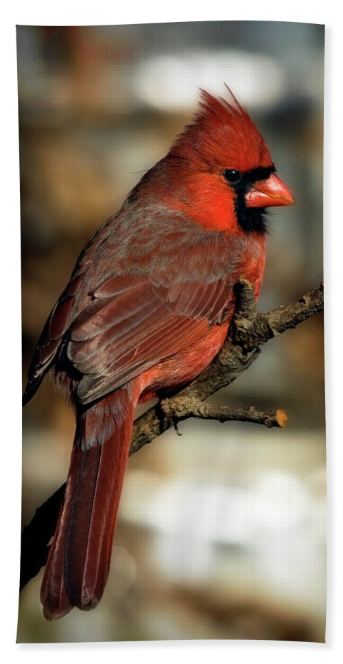 ackyard Birds Beach Towel featuring the photograph The Male Northern Cardinal by Lana Trussell