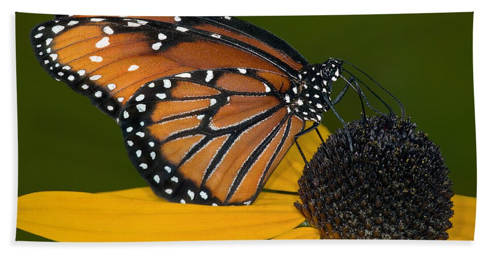 Monarch Butterfly Beach Towel featuring the photograph The Pollinator by Susan Candelario