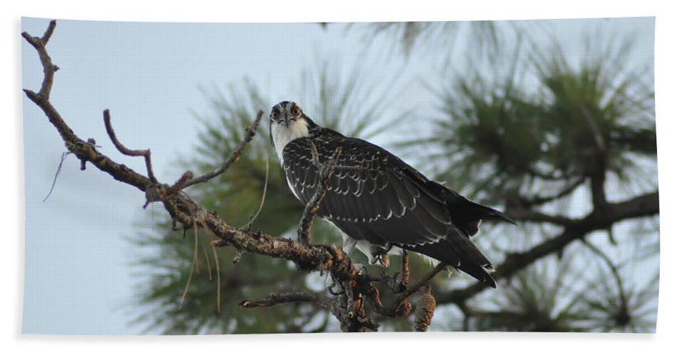 Wild Beach Towel featuring the photograph The Wild Osprey by Bill Cannon