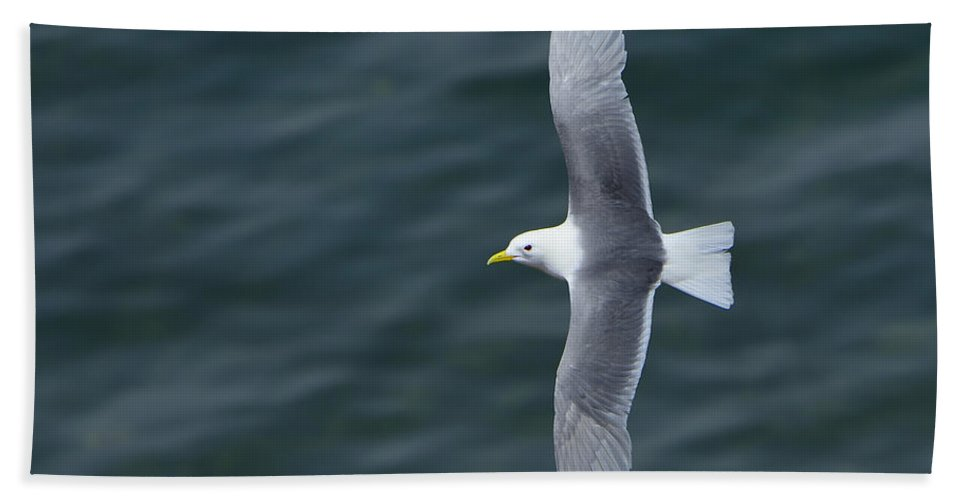 Black-legged Kittiwake Beach Towel featuring the photograph Tickle-ace by Tony Beck