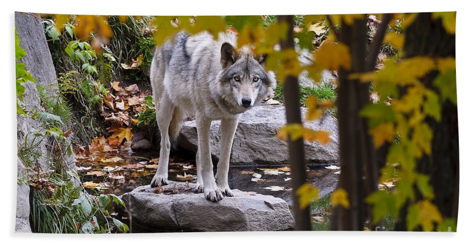 Timber Wolf Photography Beach Towel featuring the photograph Timber Wolf On Rock by Wolves Only