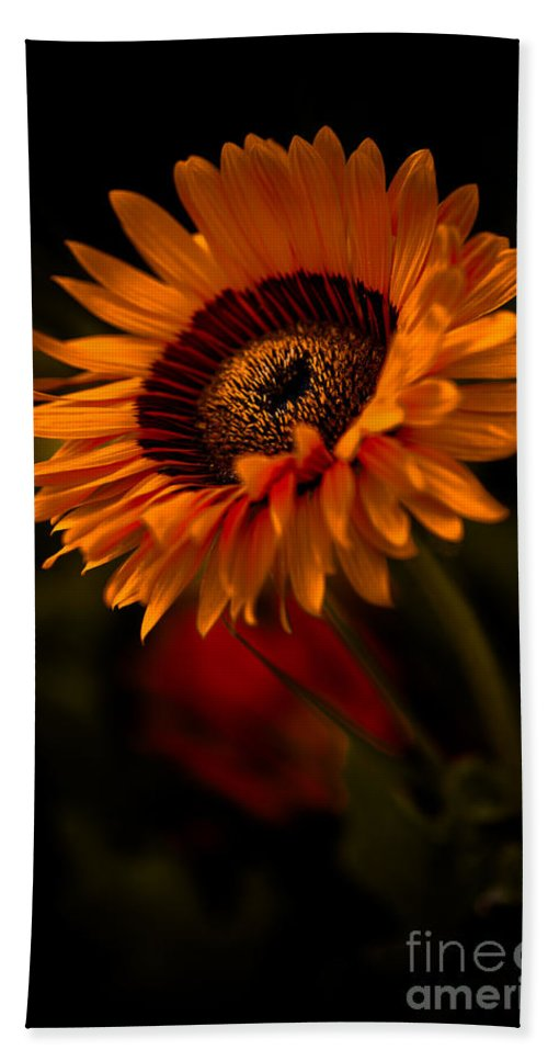 Asteraceae Family Beach Towel featuring the photograph Treasure Flower by Venetta Archer
