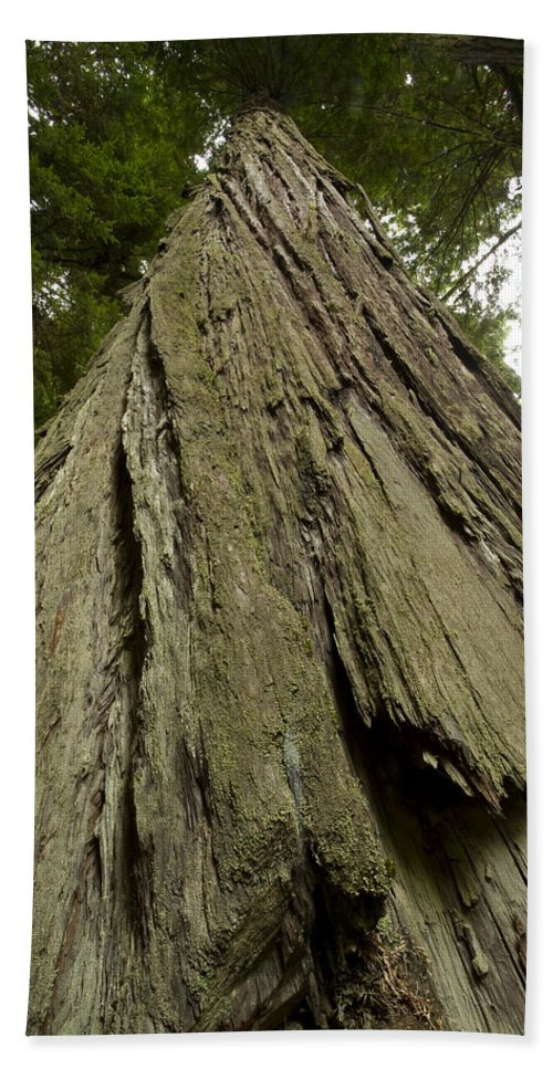 Redwood Beach Towel featuring the photograph Tree Redwood Ca 1 by John Brueske