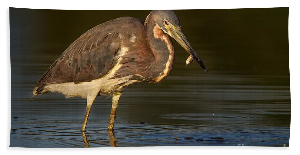 Tri-color Heron Beach Towel featuring the photograph Tricolor Heron With Small Fish by Jerry Fornarotto