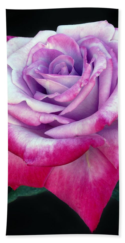 Rose Beach Towel featuring the photograph Tricolor Rose by Dave Mills