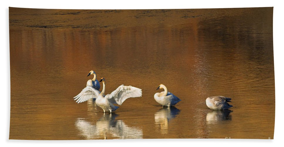 Swan Beach Towel featuring the photograph Trumpeter Ballet by Mike Dawson