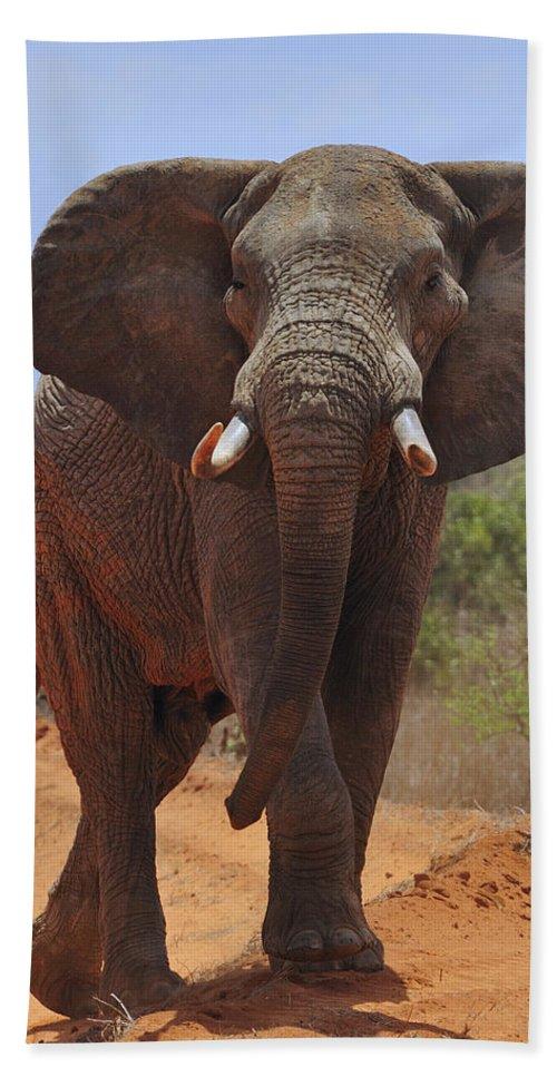 Savanna Elephant Beach Towel featuring the photograph Tsavo Elephant by Tony Beck