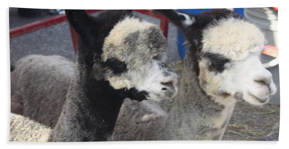 Two Alpacas Beach Towel featuring the photograph Two Alpacas by John Telfer