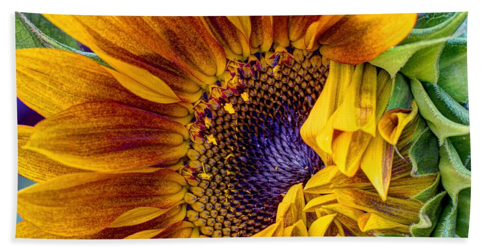 Sunflower Beach Towel featuring the photograph Unfurling Beauty - Cropped Version by Heidi Smith