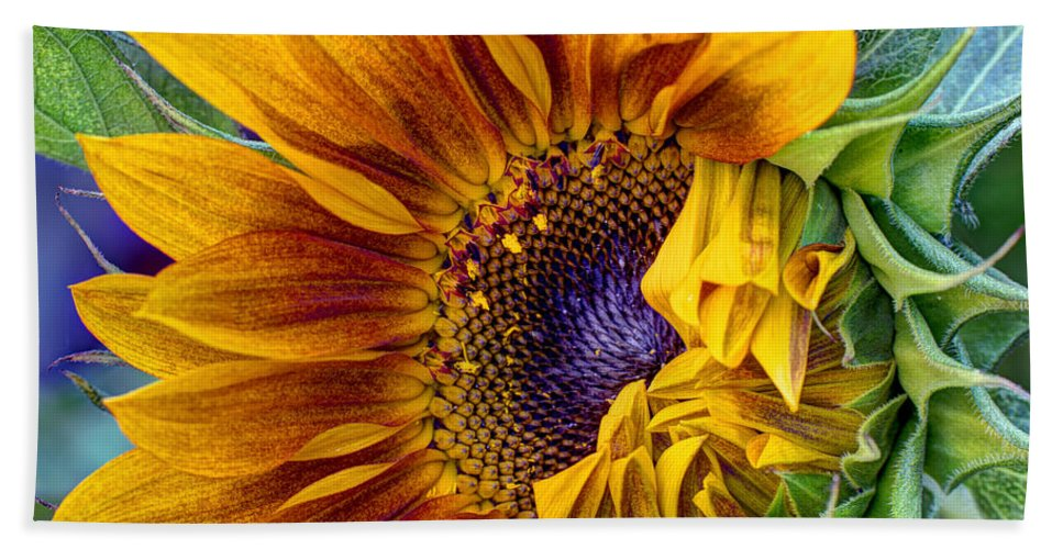 Sunflower Beach Towel featuring the photograph Unfurling Beauty by Heidi Smith