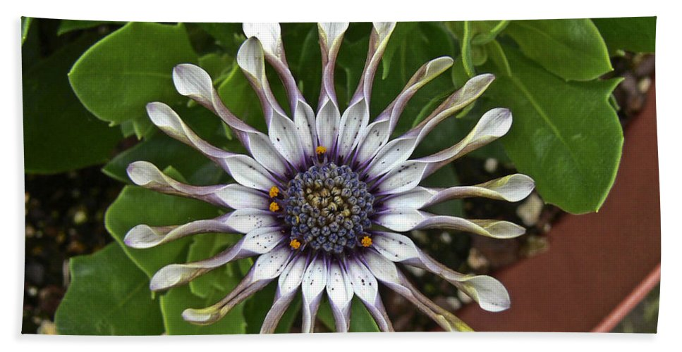 Dallas Beach Towel featuring the photograph Unknown Flower by Allen Sheffield