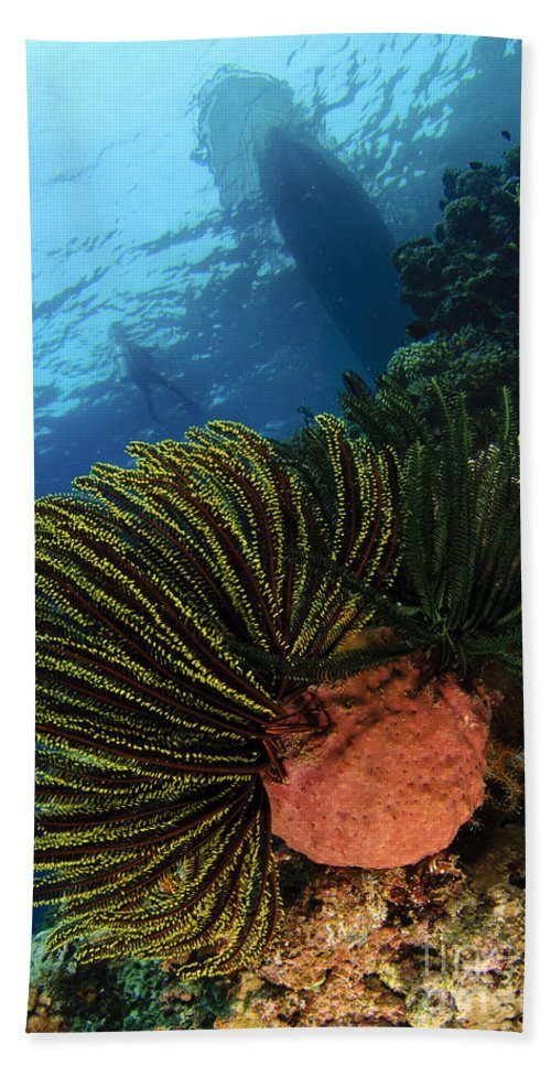 Comaster Schlegelii Beach Towel featuring the photograph Variable Bushy Feather Star, Gorontalo by Steve Jones