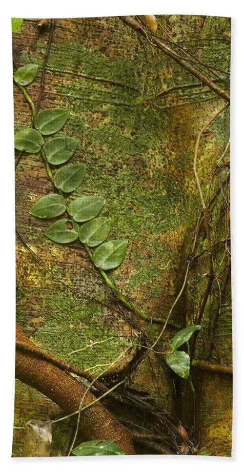 Vine Beach Towel featuring the photograph Vine On Tree Bark by Stuart Litoff