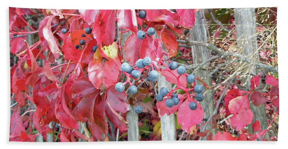 Foliage Beach Towel featuring the photograph Virginia Creeper Fall Leaves And Berries by Mother Nature