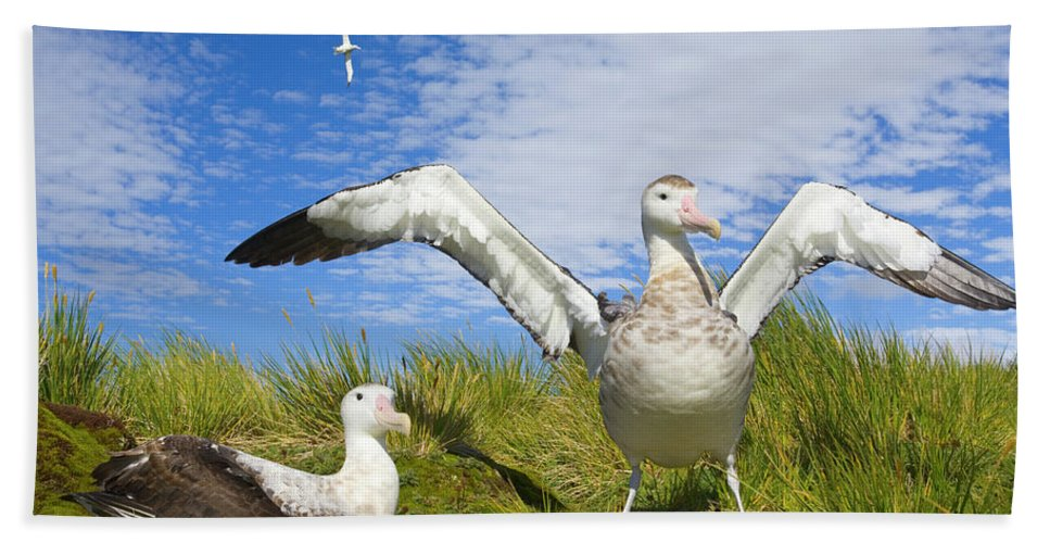 00345305 Beach Towel featuring the photograph Wandering Albatross Courting by Yva Momatiuk John Eastcott