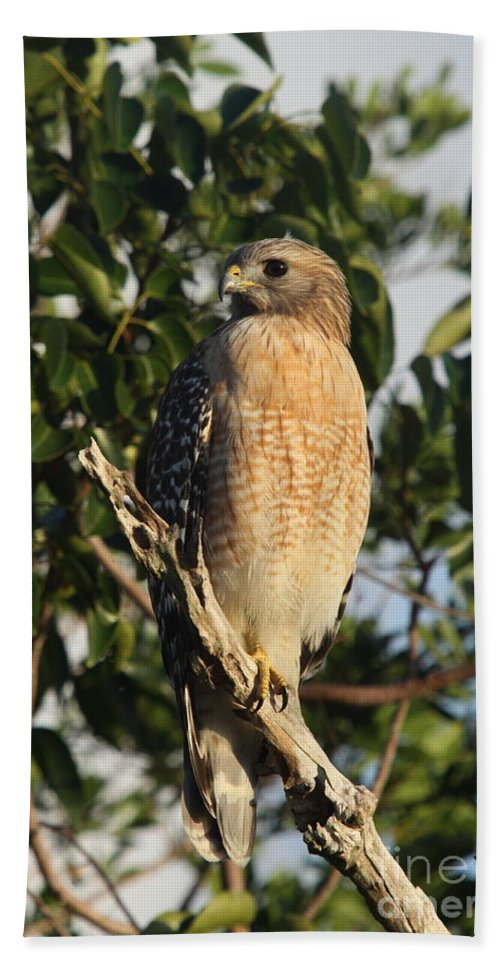 Hawk Beach Towel featuring the photograph Watchful Eyes - Red Shouldered Hawk by Christiane Schulze Art And Photography