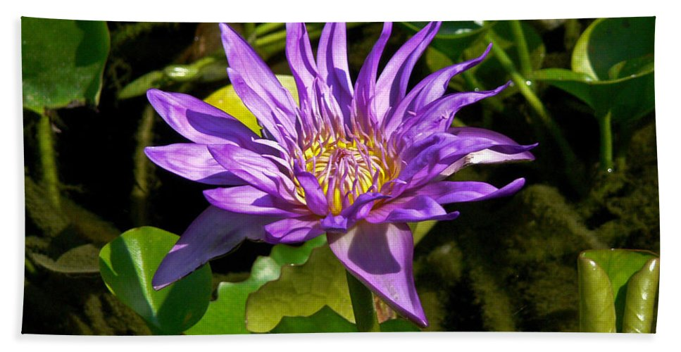 Dallas Beach Towel featuring the photograph Water Lily Bloom by Allen Sheffield