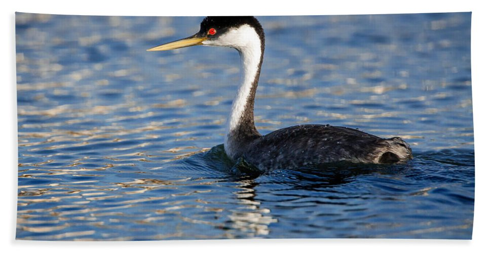Western Grebe Beach Towel featuring the photograph Western Grebe by Jack Bell