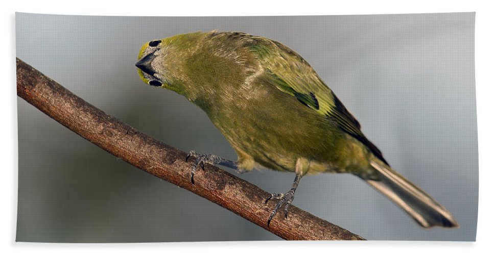 Palm Tanager Beach Towel featuring the photograph What's Up And Down by Tony Beck