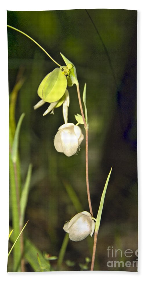 Wildflowers; Globes; Nature; Green; White Beach Sheet featuring the photograph Whispers by Kathy McClure