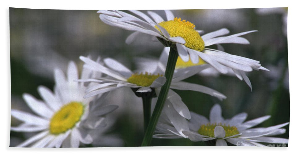 Heiko Beach Towel featuring the photograph White Marguerite by Heiko Koehrer-Wagner