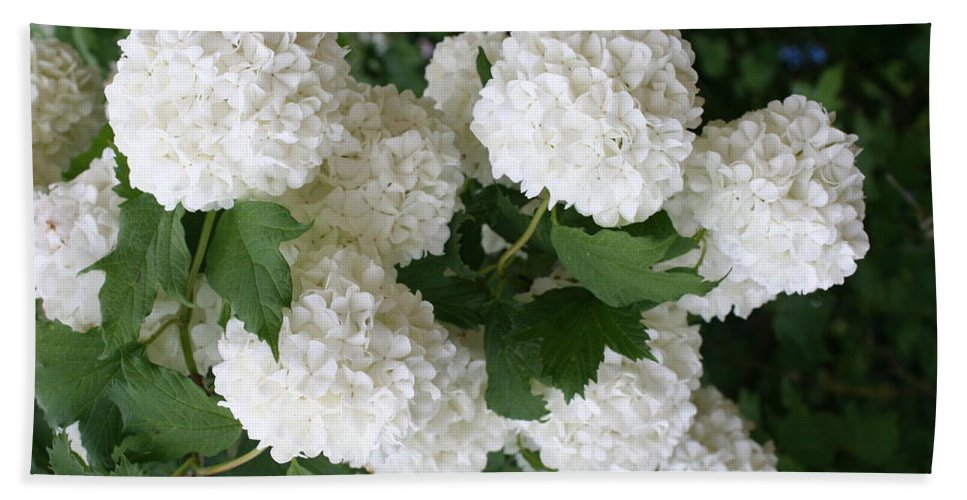 White Snowball Beach Towel featuring the photograph White Snowball Bush by Christiane Schulze Art And Photography