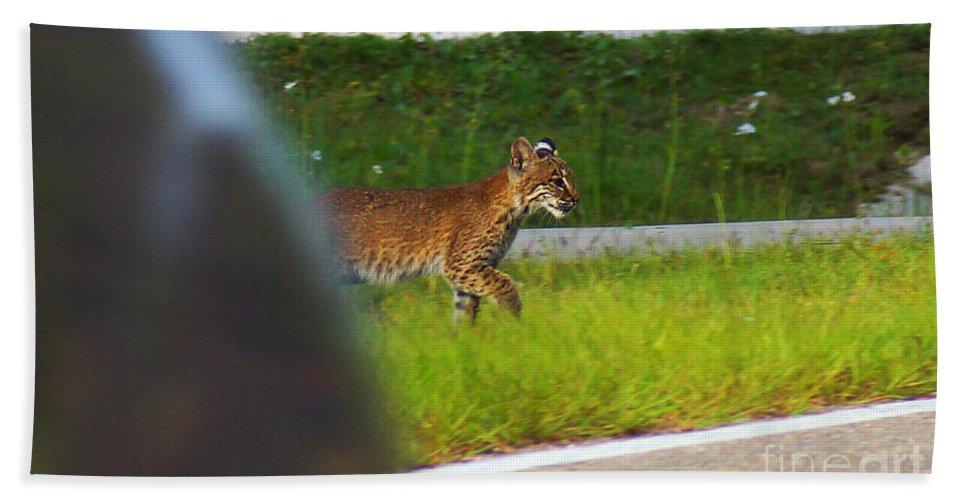 Bob Cat Beach Towel featuring the photograph Why Did The Bobcat Cross The Road by Kim Pate