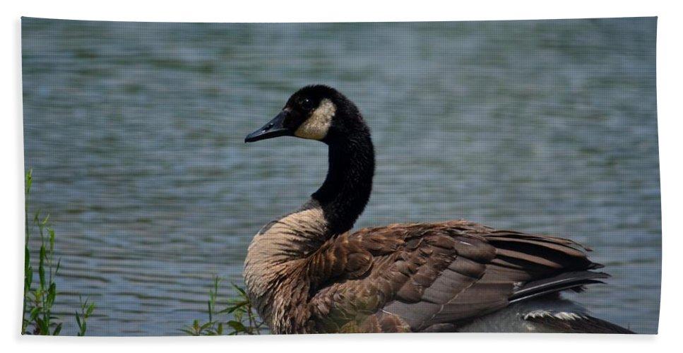 Wild Beauty - Canadian Goose Beach Towel featuring the photograph Wild Beauty - Canadian Goose by Maria Urso