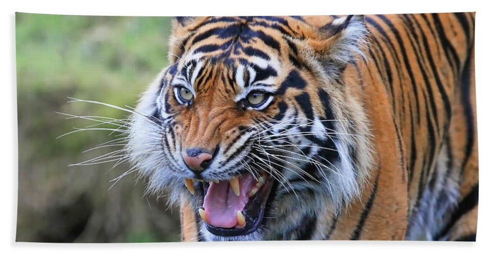 Tiger Beach Towel featuring the photograph Wildcat IIi by Athena Mckinzie