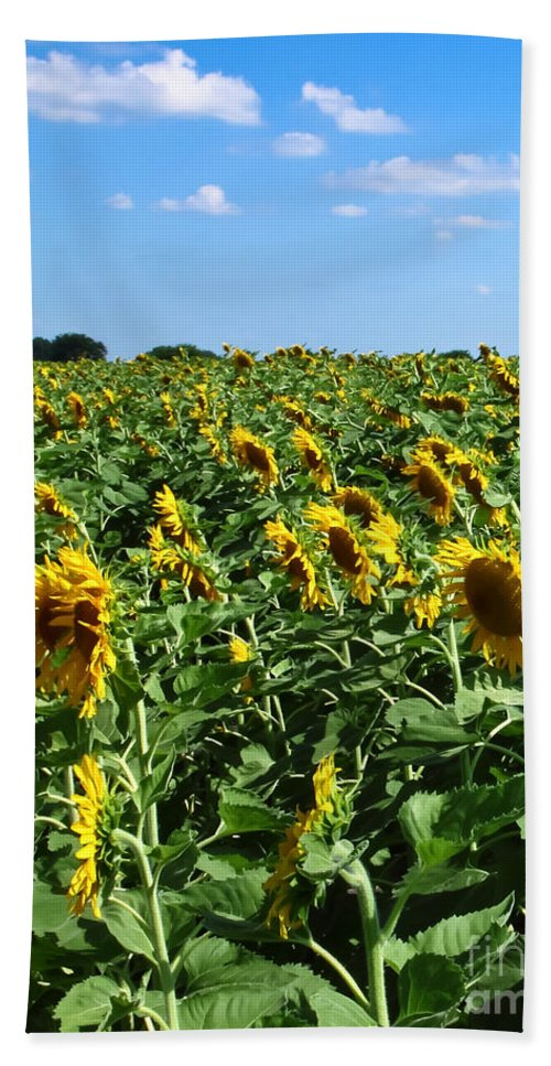 Sunflower Beach Towel featuring the photograph Windblown Sunflowers by Robert Frederick
