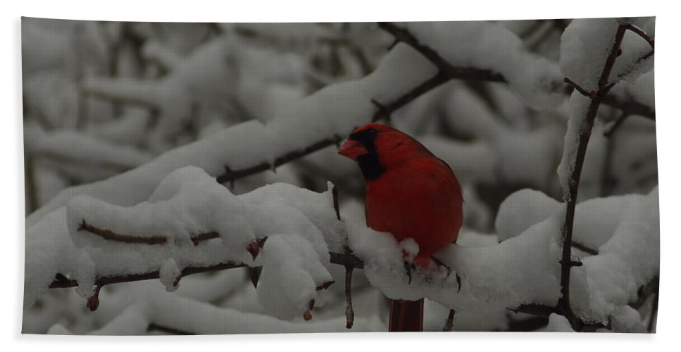 Red Bird In Snow Beach Towel featuring the photograph Winter Color by Kitrina Arbuckle