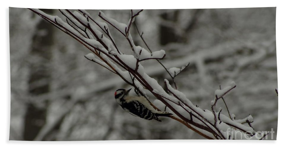 Downy Woodpecker In Snow Beach Towel featuring the photograph Winter Downy by Kitrina Arbuckle