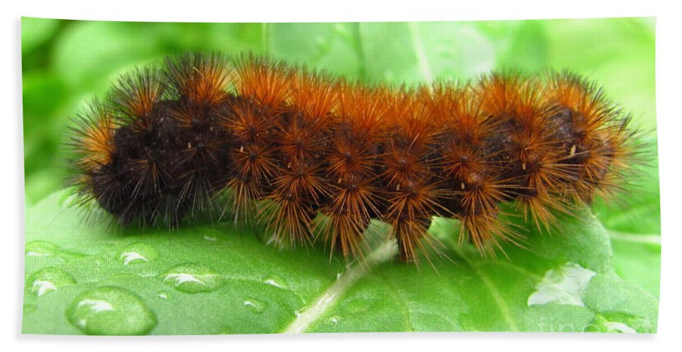 Wooly Bears Wooly Bear Caterpillar Images Fuzzy Caterpillar Prints Isabella Tiger Moth Caterpillar Orange And Black Caterpillar Black And Brown Caterpillar Maryland Caterpillar Identification Caterpillar Id American Caterpillars Spiny Caterpillar Harmless Caterpillars Entomology Natural Science Nature Prints Naturalist Nature Study Nature Walk Nature Photography Tree Hugger Oldgrowth Forest Biodiversity Preservation Wildlife Conservation Organic Garden Organic Farming Banded Wooly Bear Pics Beach Towel featuring the photograph Wooly Bear by Joshua Bales