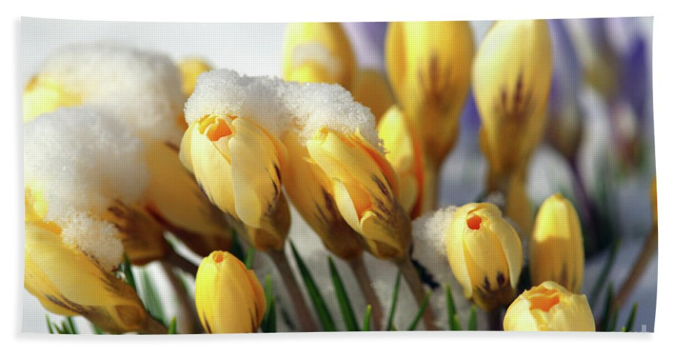 Yellow Crocuses Beach Towel featuring the photograph Yellow Crocuses In The Snow by Sharon Talson