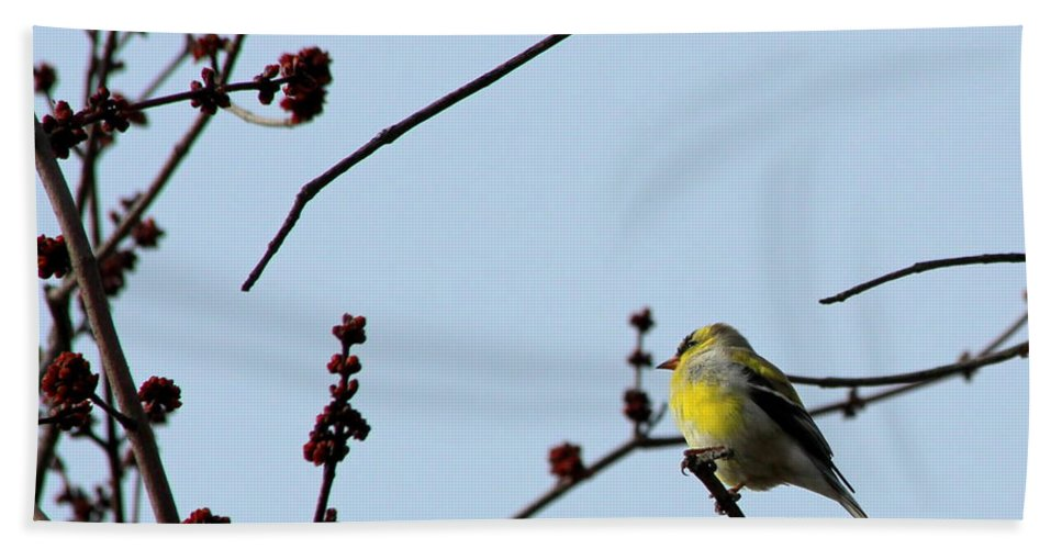Bird Beach Towel featuring the photograph Yellow Finch In Spring by Kenny Glotfelty