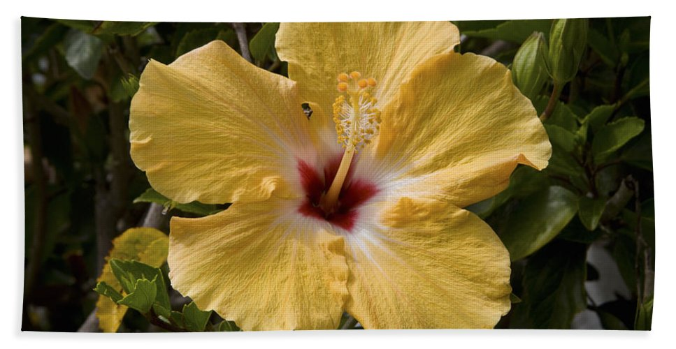 Yellow Beach Towel featuring the photograph Yellow Hibiscus by Diane Macdonald