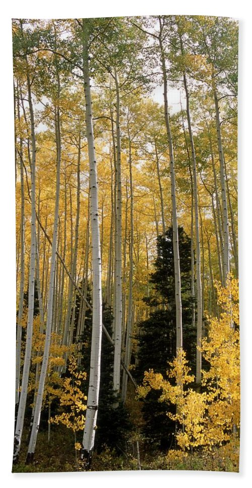 Landscapes Beach Towel featuring the photograph Young Aspens by Eric Glaser