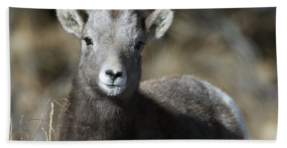 Young Bighorn Sheep Beach Towel featuring the photograph Young Bighorn Sheep by Gary Langley