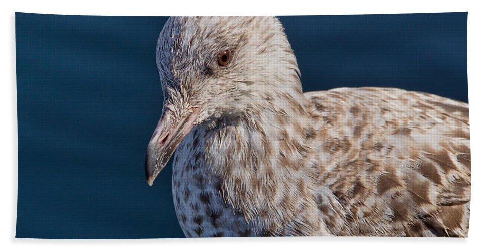 Herring Gull Beach Towel featuring the photograph Young Herring Gull by Susie Peek